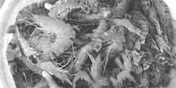 Shrimp farms in muddy waters