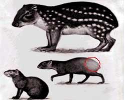 Agouti : the prolific gene