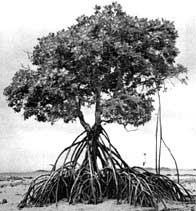 Mangroves' misery