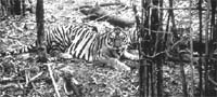 Tiger safari awaits help