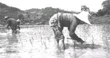 Foul waters: paddy fields in
