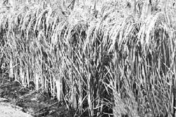 Grain drain