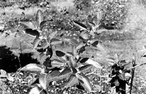Ashwagandha plant in bangalore dating 3