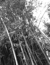 Bamboo shock