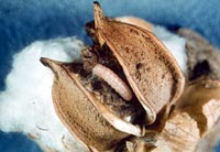 Genetically fortified pest (Credit: Texas Agricultural Experiment<)