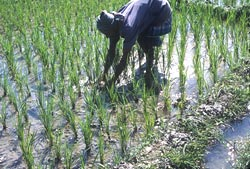 Parched ricefields emit less methane