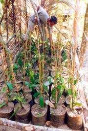 Kerala farmers grow vanilla for profit