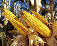Thumbs up for Monsanto's maize