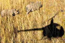 A rhinocerous being captured f