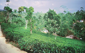 Tribals woe: Tea cultivation i
