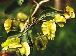 Medicinal tree survives tissue culture process
