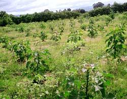 Jatropha plantation policy has gaping holes