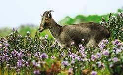 Neelakurinji blooms in the Nilgiris