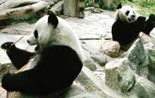 Thai zoo to show panda pornography to spark romance between pandas