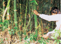 High demand for Indian bamboo in Kenya, Ethiopia