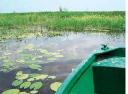 Swamphen vanishing from Bakhira lake
