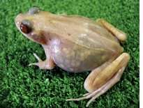 Transparent frogs as educational tools