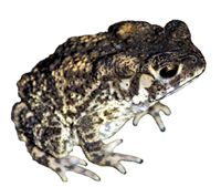 Compound in toad skin could cure liver cancer