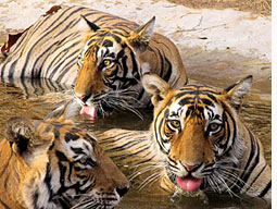 Tiger cubs missing in Ranthambore