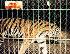 Vietnamese zoo admits auctioning tiger
