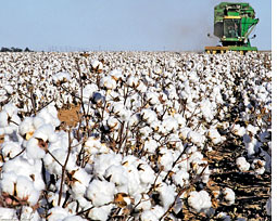 GM cotton less profitable than non-GM variety