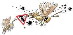 Back biting is locusts' natural behaviour