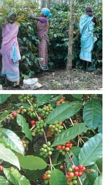 Over a coffee farm