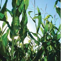 Farms reflect more sunlight th