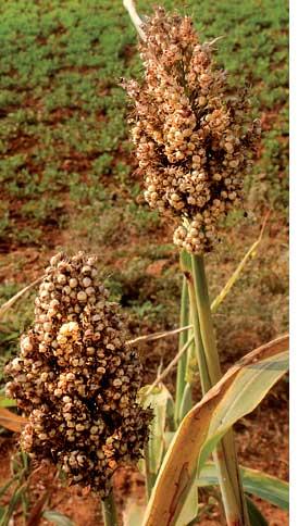 Millet stalks withstood intens
