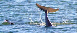 More baby dolphins in Chilika