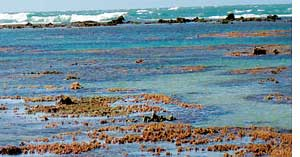 Algal bloom threatens coral reef
