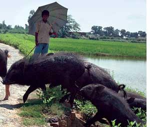 Animal to human flux of diseases has risen (Credit: SURYA SEN)