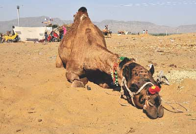 Camels need drought relief