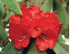 Rhododendrons losing ground