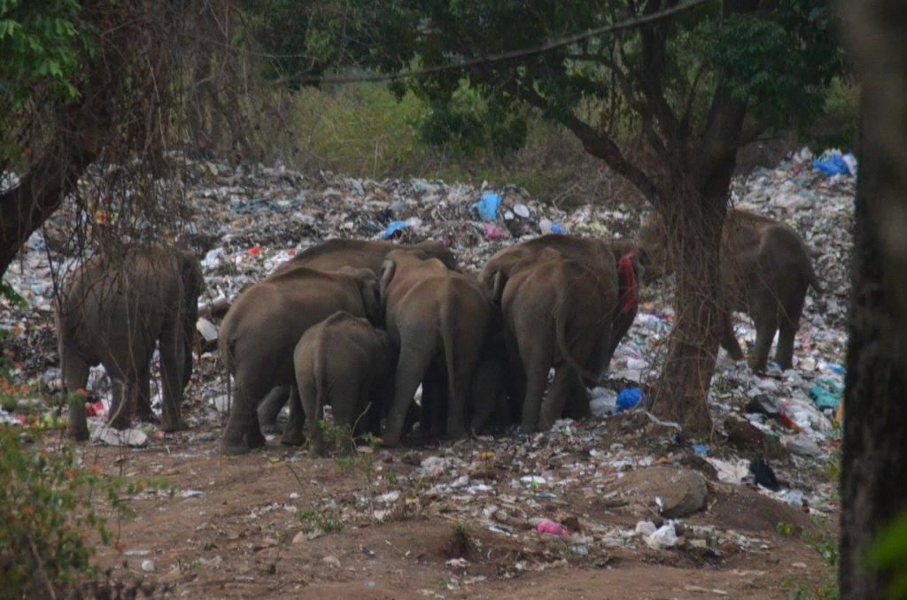 A herd of elephants feeding from waste at the dump yard (The Shola Trust)