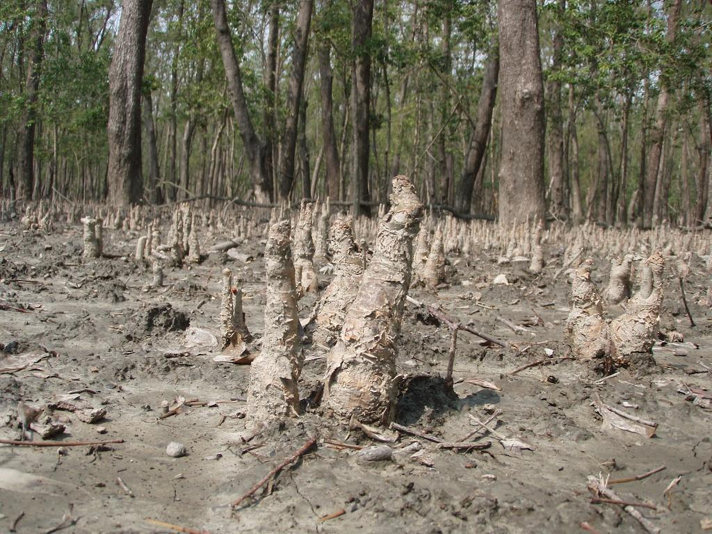 A mangrove forest in the Sundarbans, Source: Flickr