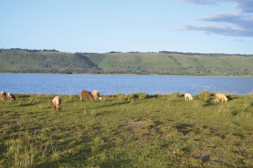 Farmers' livestock compete with hippopotamus for pastures around lake Ol' Bolossat (Photographs: Muchemi Wachira)
