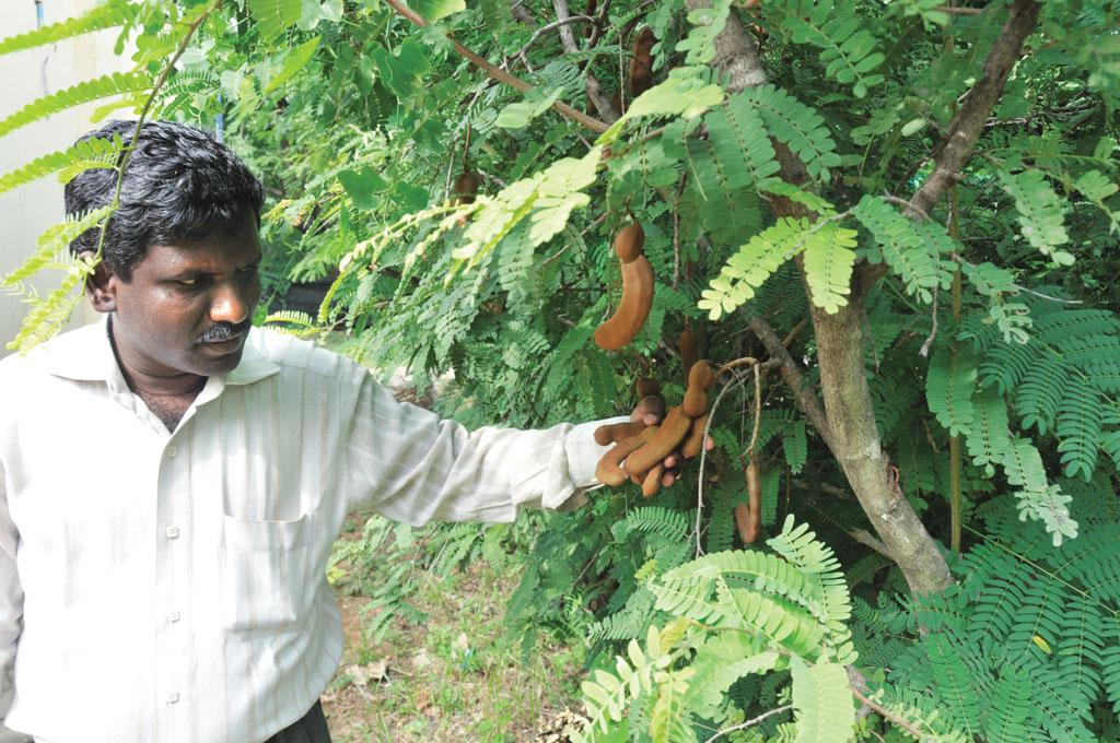 A Mayavel, a scientist working on tamarind at the Institute of Forest Genetics and Tree Breeding, shows a hybrid tamarind variety that is being tested (Photo: Shreeshan Venkatesh)