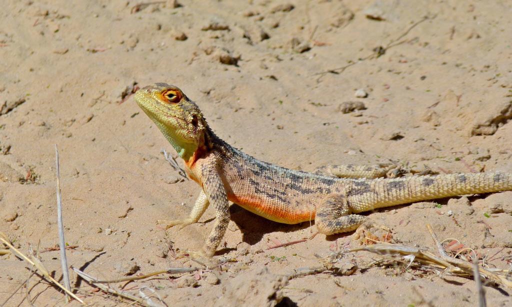 lizard animal medicine
