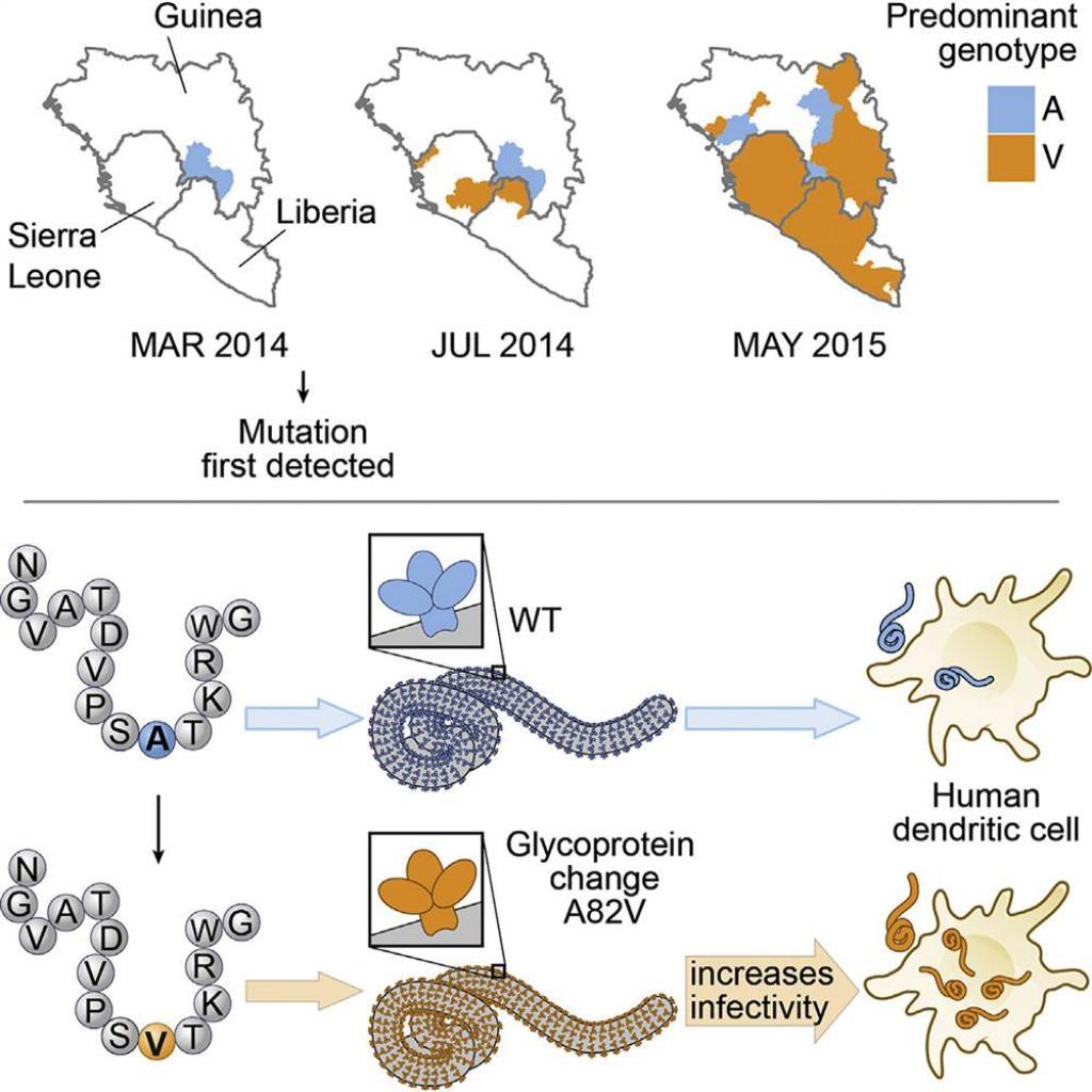 Mutation in Ebola virus turned epidemic in West Africa ...