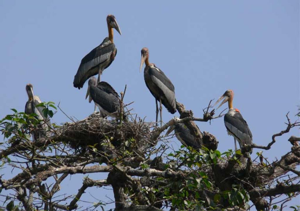 Greater Adjutants in a nest at the Dadara village nesting colony in Assam, India. Credit: Purnima Barman