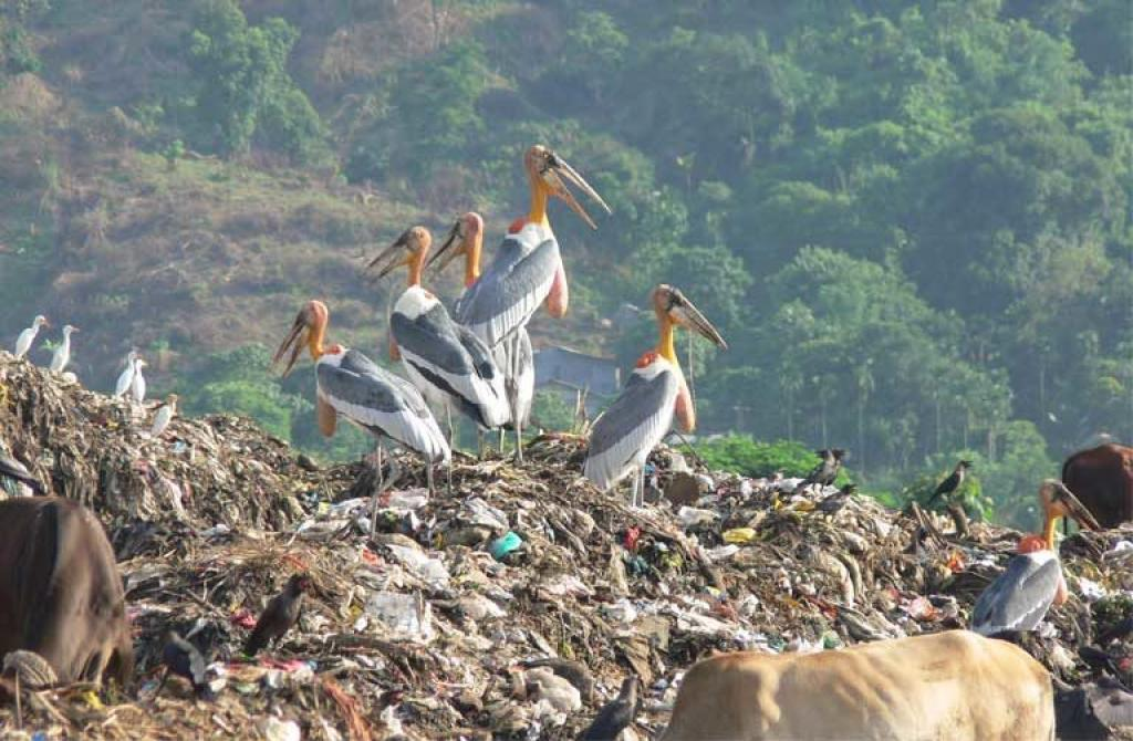 A Greater Adjutant stork gathering in Assam, India. Credit: Rathin Barman