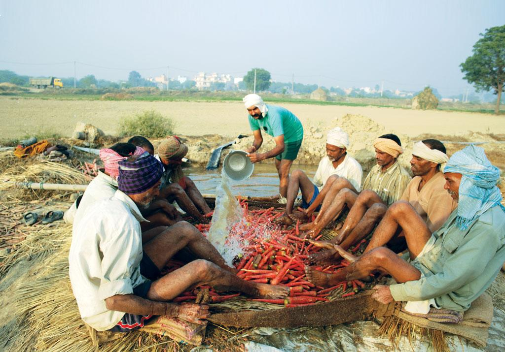 Bablu Chauhan (standing), a farmer in Sonipat, cleans carrot with the help of labourers. He says he will not recover the Rs 30,000 he had spent on the crop because there are not enough buyers (Photo: Srikant Chaudhary)