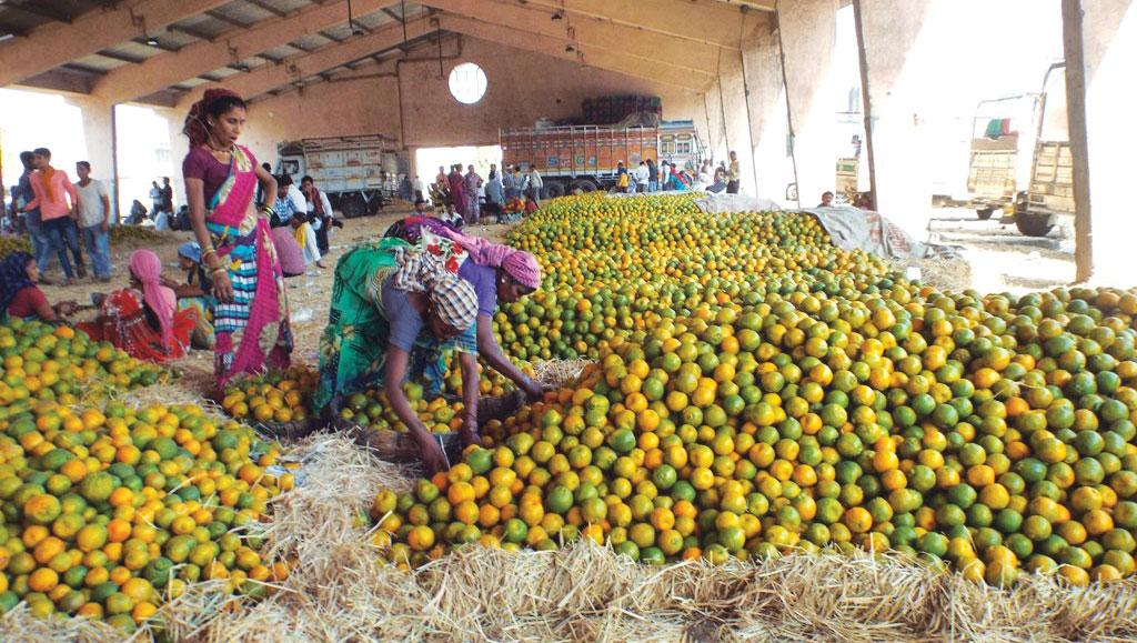 At Karamana market in Nagpur, one of the largest orange markets in Asia, trade has reduced to half in the peak season (Photo: Jitendra)