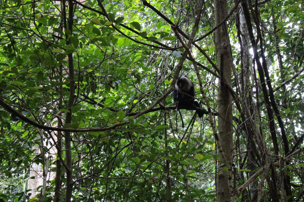 "The Lion Tailed Macaque has been classified as ""endangered"" by the International Union for Conservation of Nature. The animal had become the mascot of the Save Silent Valley movement in the 1970s and 80s, with protestors arguing that a hydropower project would destroy its habitat Credit: Jemima Rohekar"