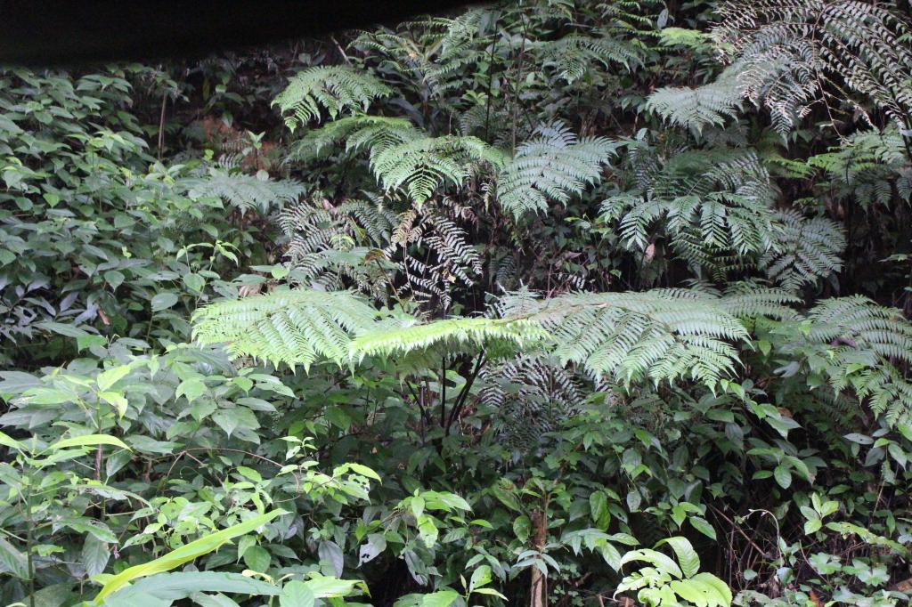 Ferns jostle for space along with other tree species. There are about 100 ferns and fern allies in the forest Credit: Jemima Rohekar