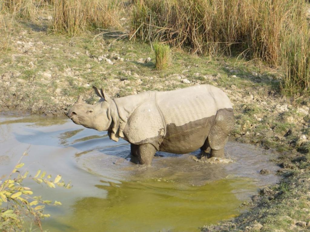 A one-horned rhino in Kaziranga National Park. Rhinos are strong swimmers, and spend much of their time in water, especially during the hot season. Photo by Udayan Dasgupta for Mongabay.