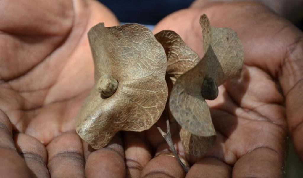 Seeds of the Chinese Hats tree found only in Tanzania. Credit: Kirsty Shaw / BGCI