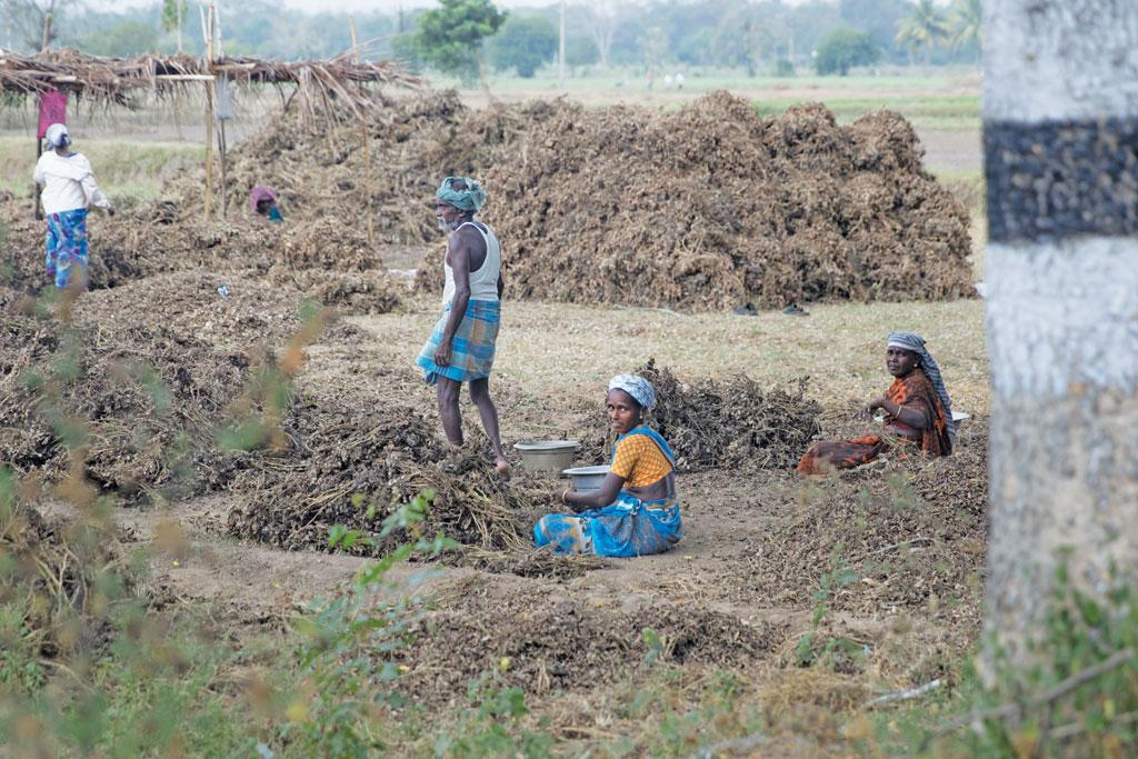 Of late, farmers in the Cauvery delta have been growing black gram along with paddy to reduce their dependence on water. But this year even the hardy black gram has failed to deliver (Photo: Bhaskarjyoti Goswami)