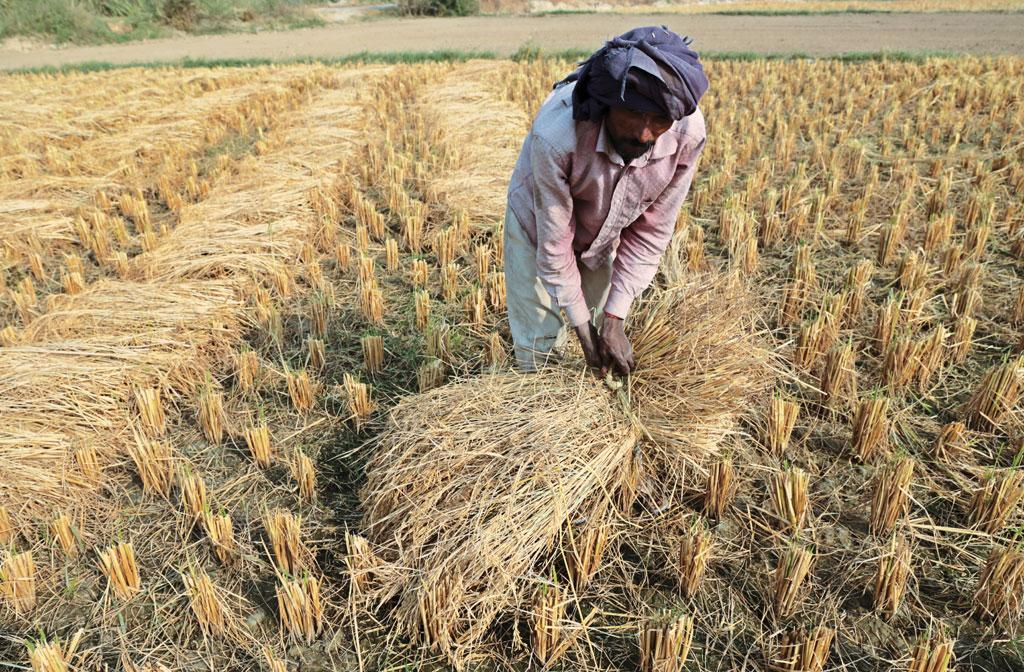 India faces a fodder shortage of 22 per cent and wheat crop residue is the preferred crop. But farmers are increasingly opting to burn it due to intensive cropping patterns (Photo: Vikas Choudhary)